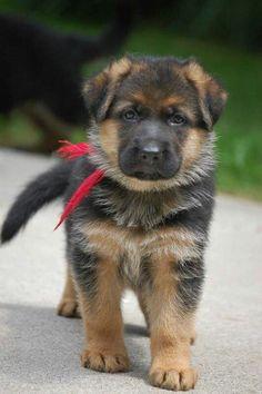 Baby German Shepherd Puppies Goldenacresdogs Com
