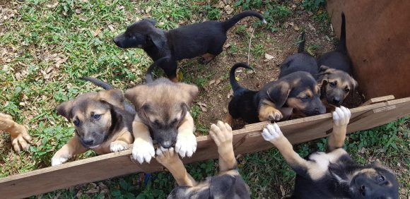 Pure Bred German Shepherd Puppies For Sale